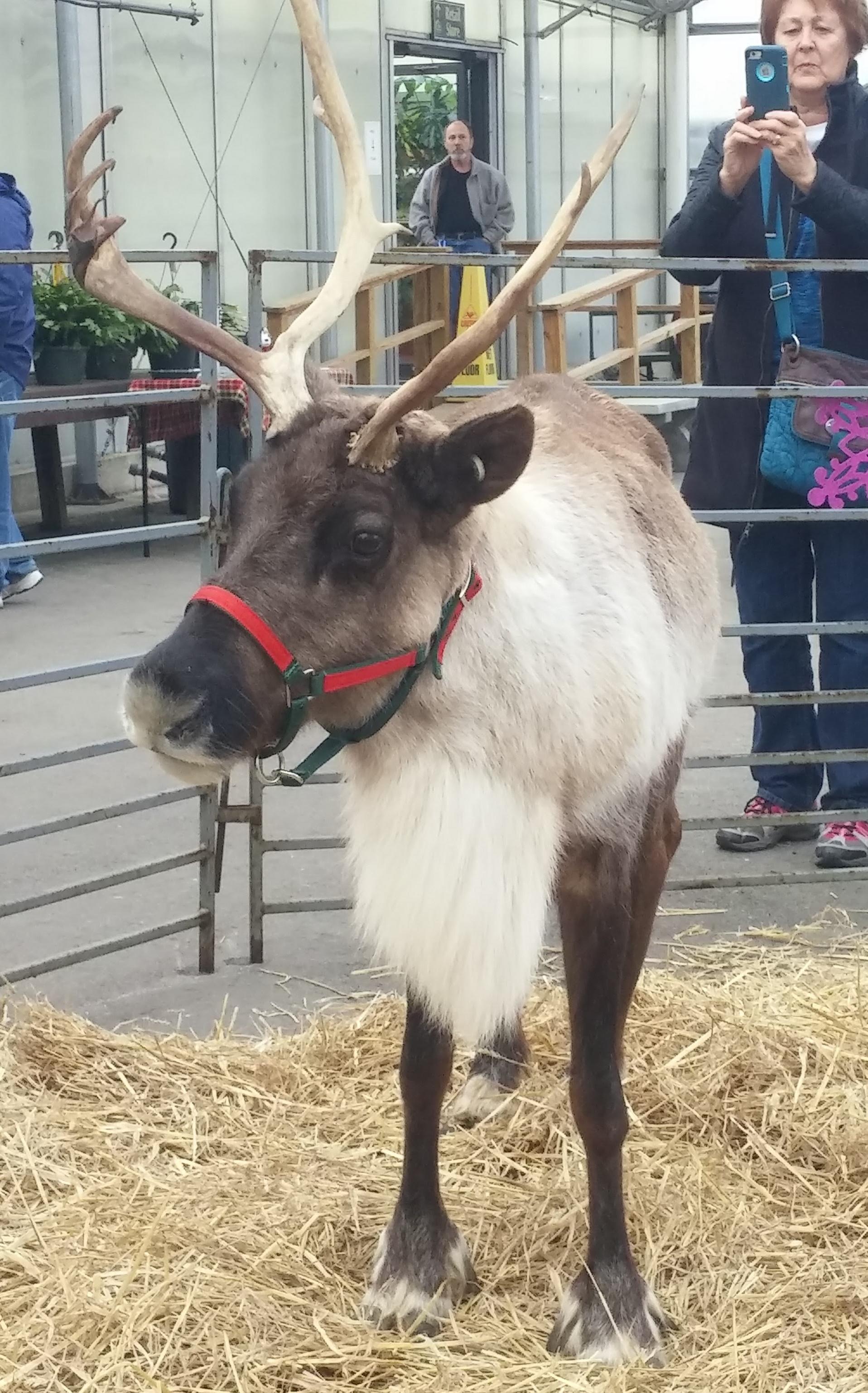 Reindeer-2