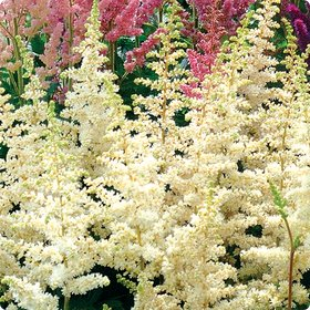 Astilbe 'Visions in White'