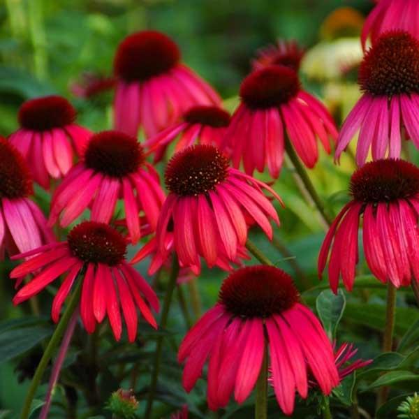 Echinacea Twilight
