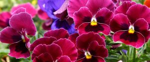 Multicolored_Pansy