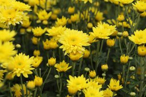 Yellow Chrysanthemums Flowers