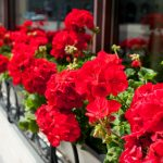 red geranium flowers
