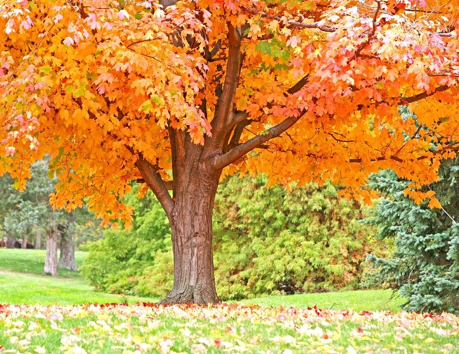 Orange Fall Tree Longfellow S Greenhouses