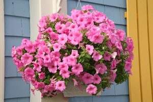 "10"" Flowering Hanging Baskets $14.99"
