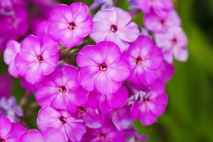 Pink Phlox Close Up