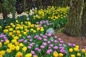 Tulip And Daffodil Garden In Grove
