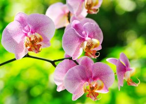 bigstock-Pink-Orchid-57266006