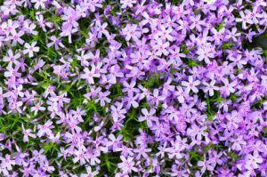 Moss Phlox flower bed