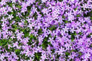 Moss Phlox flower bed