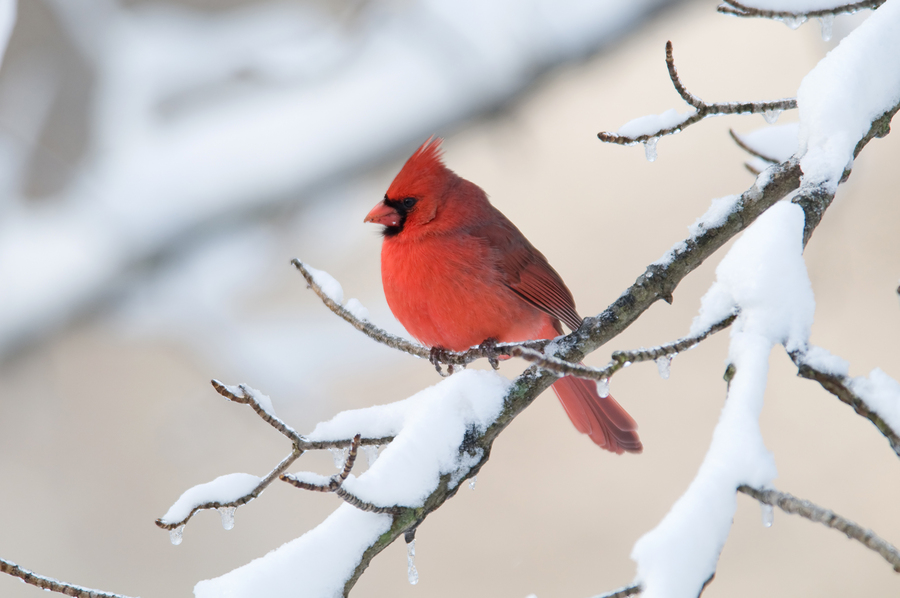 Cardinal snow longfellow 39 s greenhouses - Pictures of cardinals in snow ...
