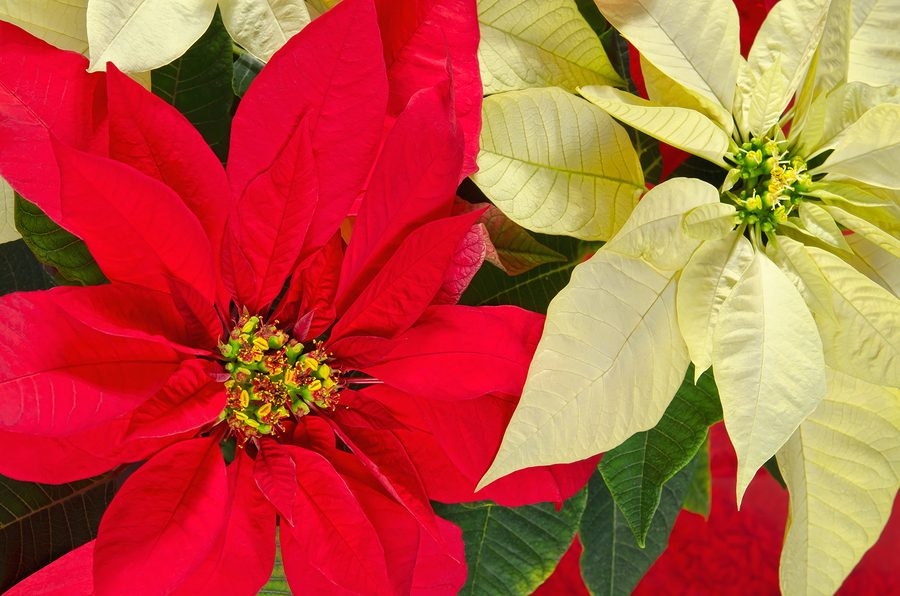 Poinsettia Flowers Longfellow S Greenhouses